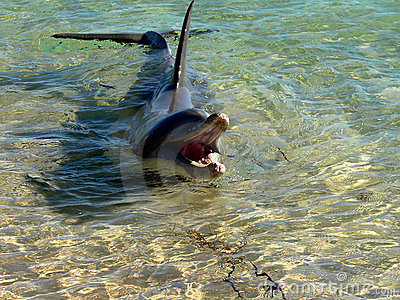 Dolphin in shallow water