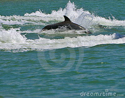 Dolphin Swimming, Florida