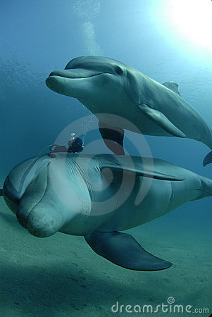 Free Dolphins In Red Sea Stock Photos - 6164073