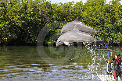 Dolphins jumping in the Varadero Aquarium show Editorial Photo