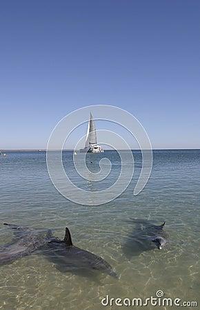 Free Dolphins Of Monkey Mia Stock Photos - 3141173