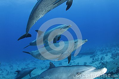 Dolphins passing by in the Red Sea, Egypt