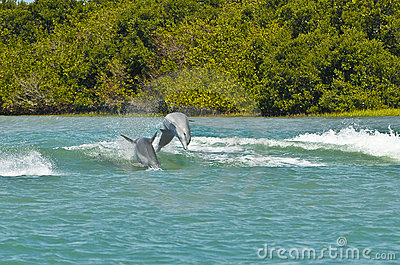 Dolphins Porpoising, Florida Royalty Free Stock Photo - Image: 18733055