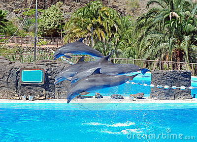 Dolphins show with jumping dolphins
