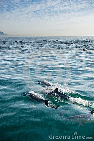Free Dolphins, Swimming In The Ocean Royalty Free Stock Image - 80975116