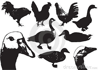 Domestic birds.Farm animals