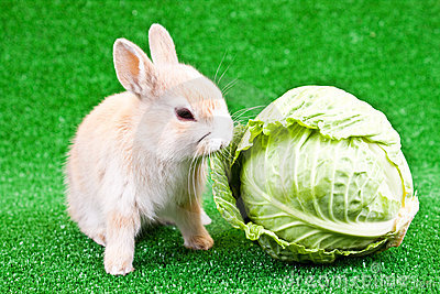 Domestic bunny and cabbage