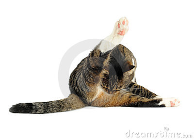 Domestic cat cleaning