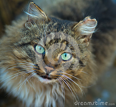 Free Domestic Cat Looking In Camera. Staring Eyes Royalty Free Stock Images - 29730799