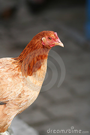 Free Domestic Chicken Stock Image - 22428771