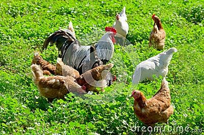 Domestic chickens.