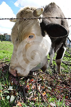 Domestic cow  eating flowers