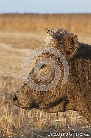 Domestic Cow portrait