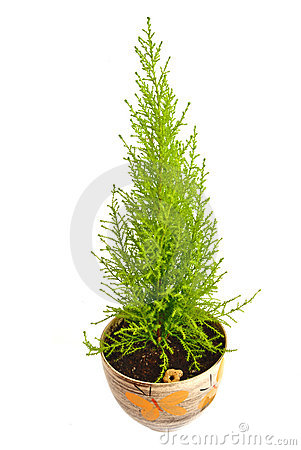 Domestic cypress