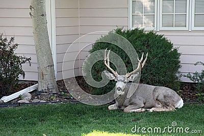 Domestic Deer