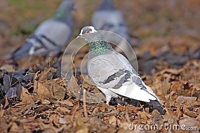 Domestic dove