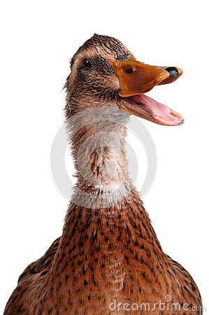 Free Domestic Duck Royalty Free Stock Photo - 26687495