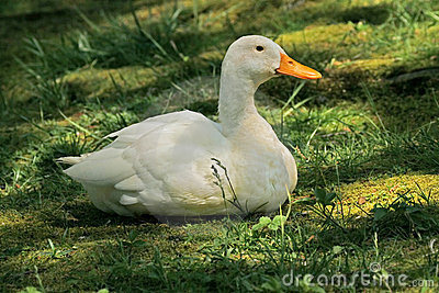 Domestic Duck (Anas Platyrhynchos) Royalty Free Stock Photo - Image ...  Anasplatyrhynchos