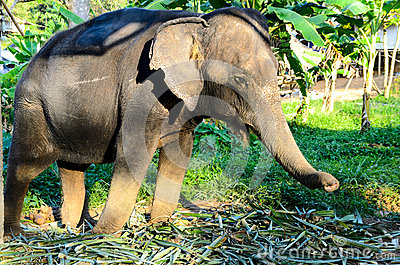 Domestic elephant