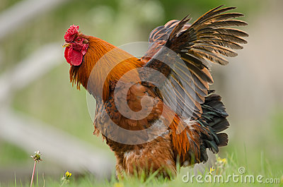 Domestic fowl