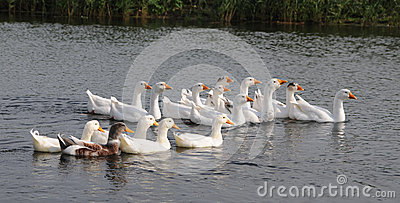 Domestic geese in a pond