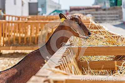 Domestic goat eating
