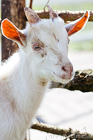Domestic goatling