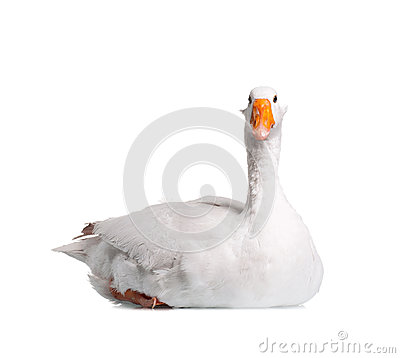Free Domestic Goose Stock Photography - 26827912