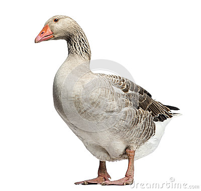 Domestic goose, Anser anser domesticus, standing and looking down