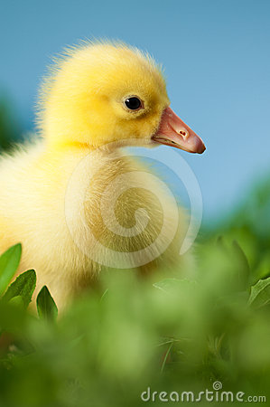 Domestic gosling