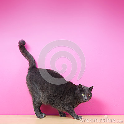 Domestic gray cat