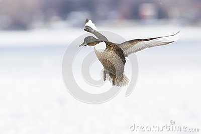 Domestic Mallard in winter