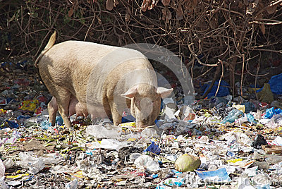 Domestic pig feeding in dump