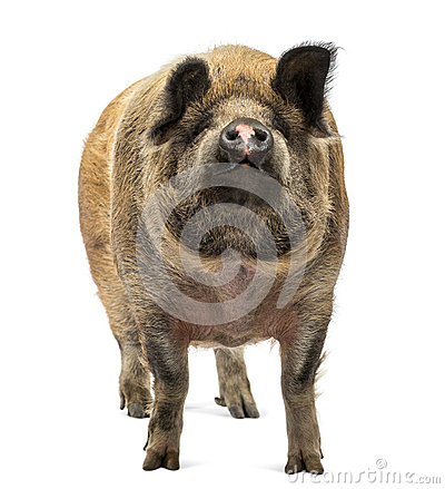 Domestic Pig standing and looking up, isolated