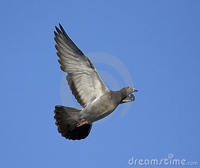 Domestic pigeon in flight
