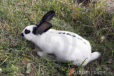 A domestic rabbit