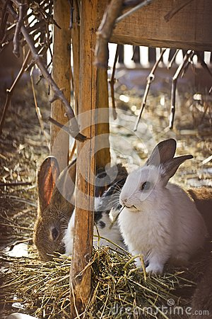 Domestic rabbits on hay