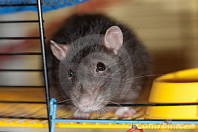 Domestic rat close up