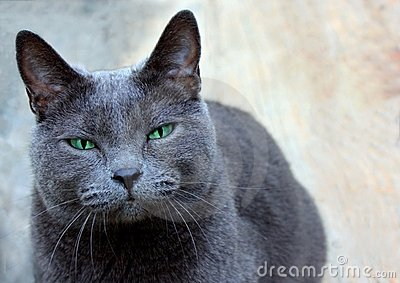 Domestic Shorthaired Cat Staring Intently