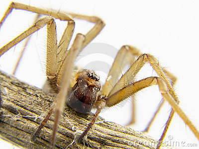Domestic spider stalking prey