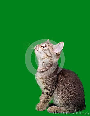 Domestic Tabby Cat Cutout