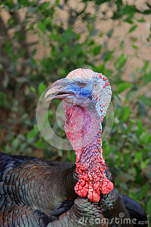 Domestic Turkey (Meleagris)