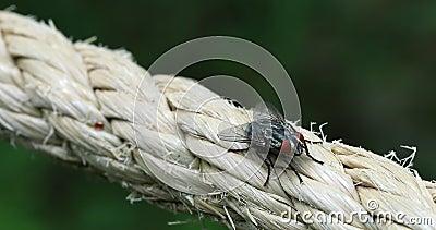 Domestica do Musca da mosca filme