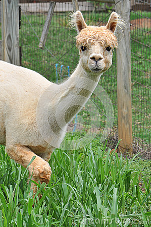 Free Domesticated Alpacas Stock Images - 42963654
