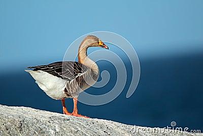 Domesticated greylag goose