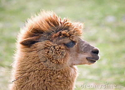 Domesticated llama
