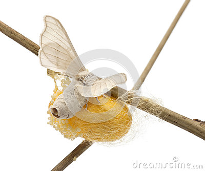 Domesticated Silkmoth next to own cocoon