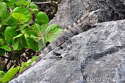Dominant caribbean male Iguana, Mexico