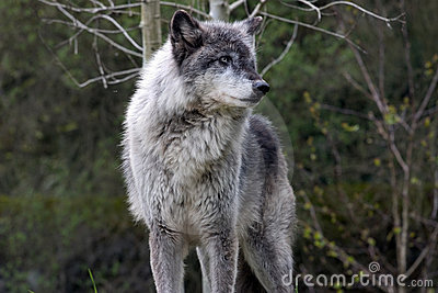 Dominant grey wolf