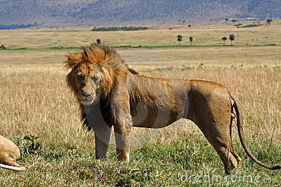 Dominant lion male with large mane, Kenya
